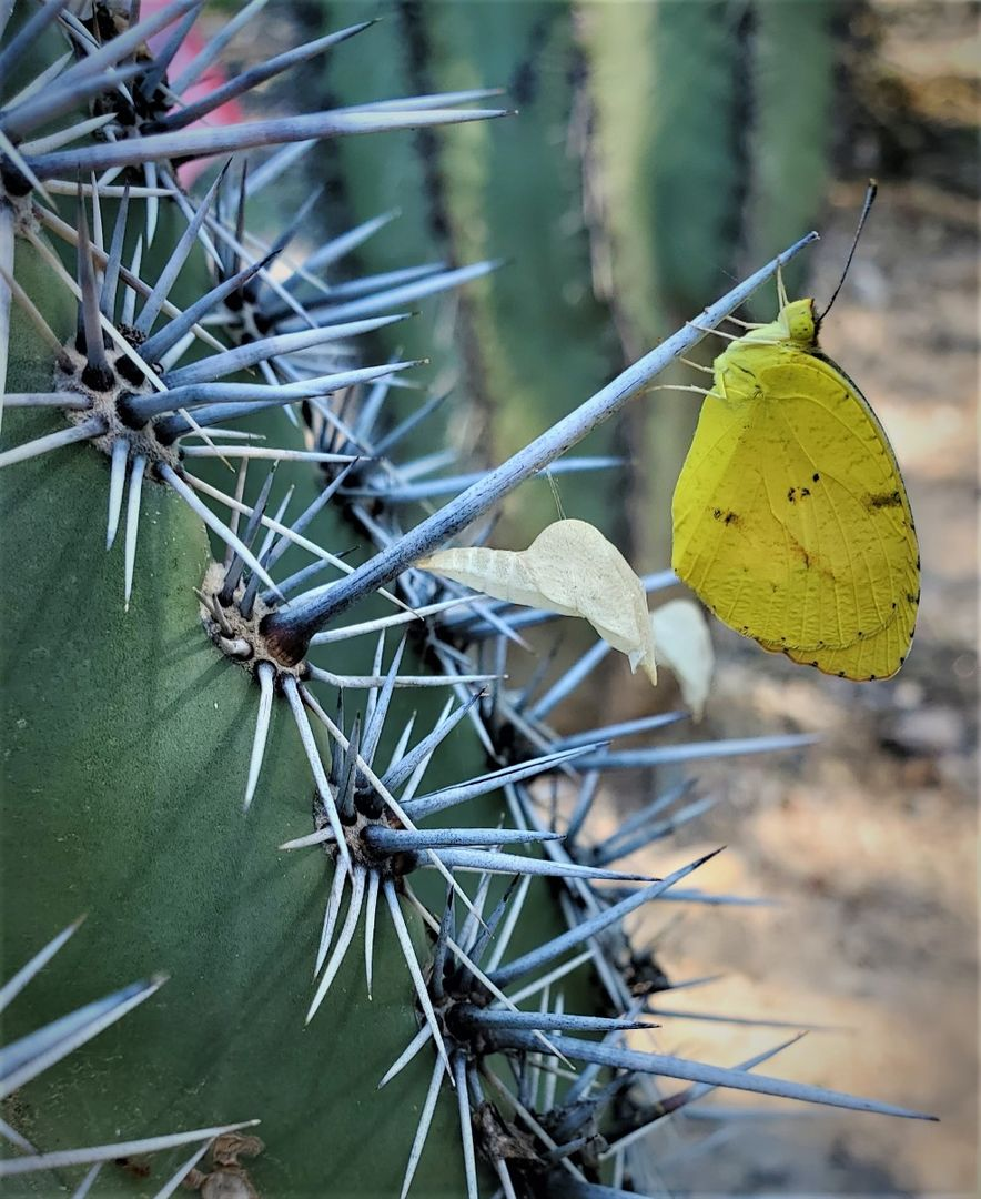 sulfur saguaro